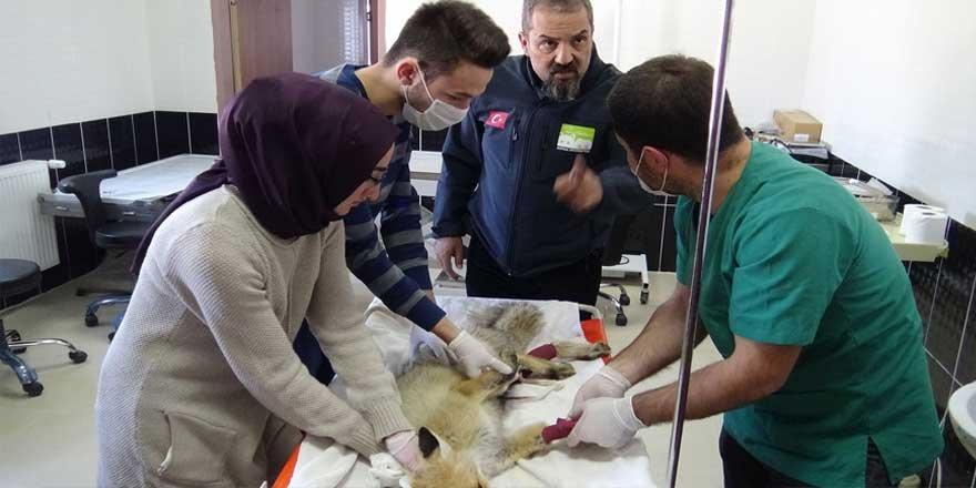 Yaban hayvanları Kars'ta tedavi ediliyor