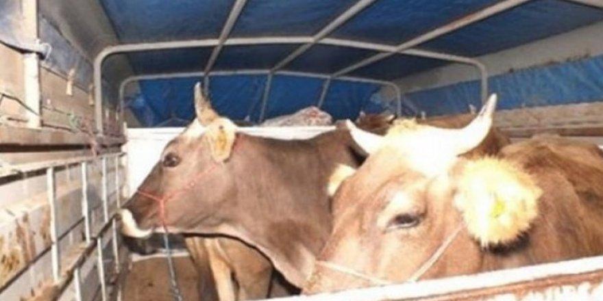 Susuz'da hayvan hırsızlığı