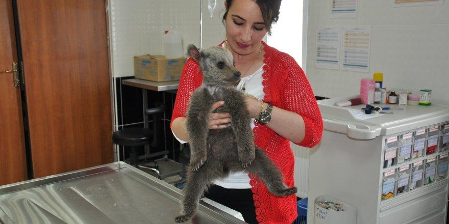Yavru ayı Kars'ta tedavi altına alındı