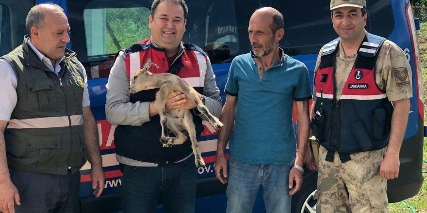 Yavru yaban keçisi koruma altına alındı