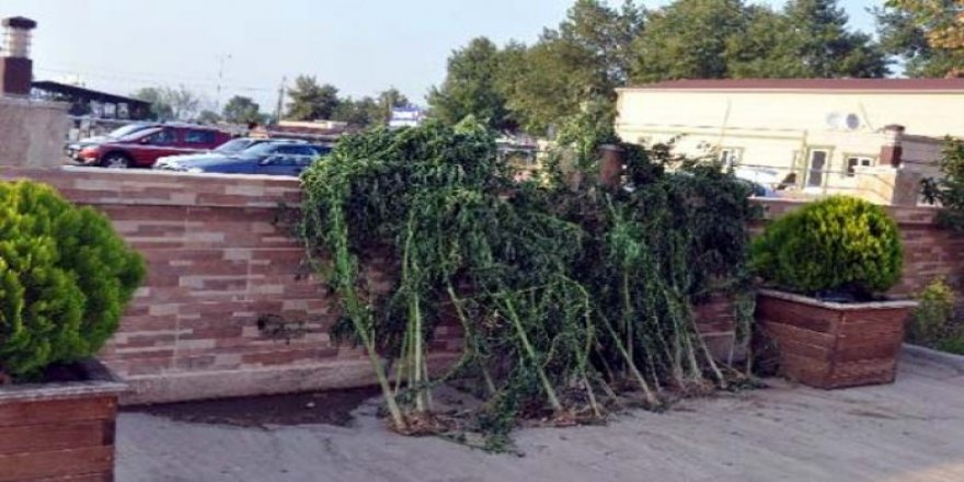 Arpaçay'da bin 128 kök kenevir ele geçirildi