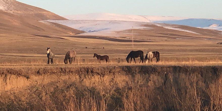 Yılkı atları doğal ortamlarında görüntülendi