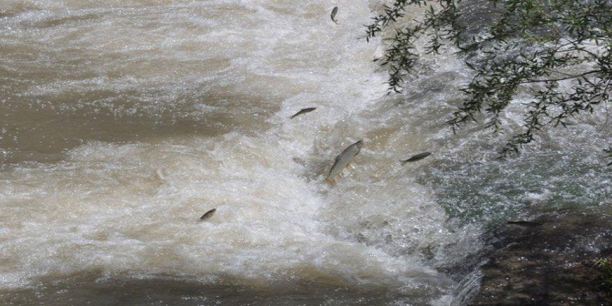 Kars'ta balıkların ölüm göçü başladı