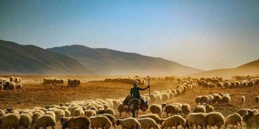 Anaç koyun ve keçi desteklemeleri için son gün 04 Aralık