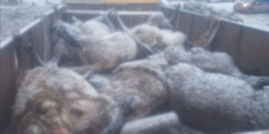 Sarıkamış'ta koyun sürüsüne ayı ve kurt saldırdı