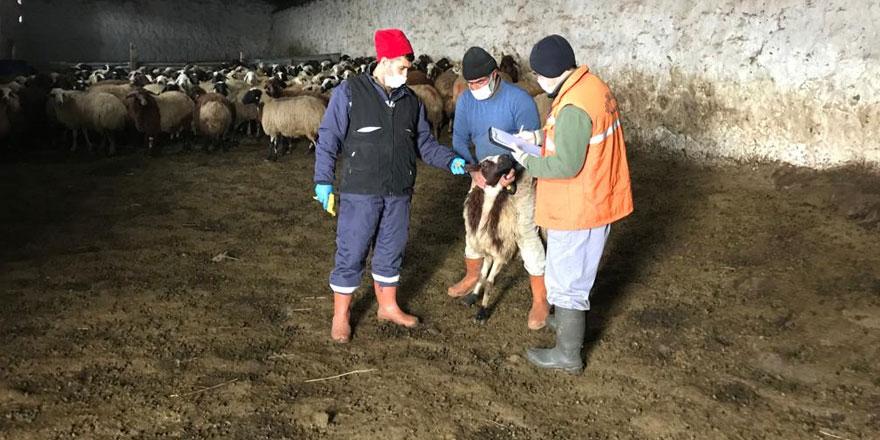 Anaç koyun ve keçiler tespit ediliyor!