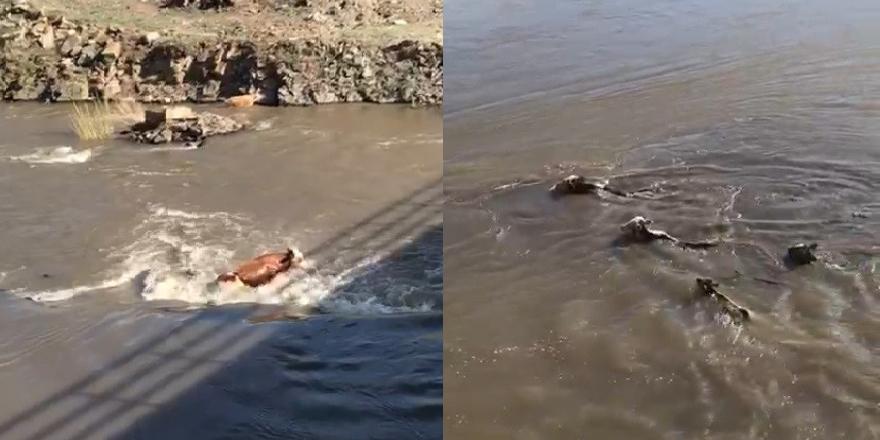 Kars'ta hayvanların azgın sularda sürüklenmesi kameralara yansıdı