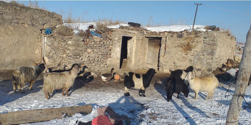 Kars'ta vicdansız hırsızlar 13 keçi çaldı