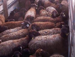 Köylüler koyunları istemedi
