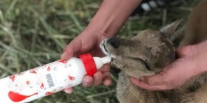 Yavru dağ keçisi emin ellerde