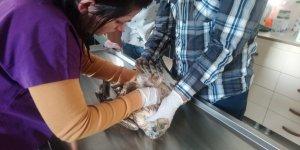 Yaralı kızıl şahin ile yeşil başlı ördek Kars'ta tedavi altına alındı