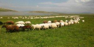 Şehirde kazandıklarını Afgan çobanlara maaş olarak ödüyorlar