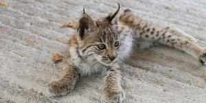 Bitkin halde bulunan yavru vaşak Kars'ta koruma altına alındı