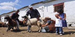 Koyun sütünün tadı bile unutuldu