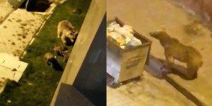 Sarıkamış'ta aç kalan anne ve yavru ayılar ilçe merkezine indi