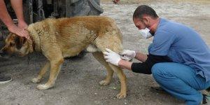 """""""Sokak Köpeklerini Kısırlaştırıyoruz"""" projesi Kars'ta başladı"""