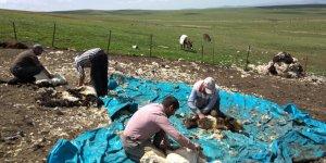 Kars'ta koyun kırkımı başladı