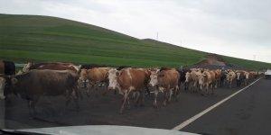 Hayvanların gübreleriyle kirlettiği kara yolları tehlike oluşturuyor
