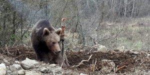 Kars'ta ayı saldırısı!