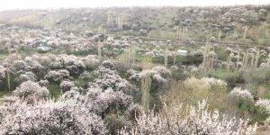 Kağızman'da Kayısı ağaçlarının çiçek açmasıyla kartpostallık görüntüler ortaya çıktı